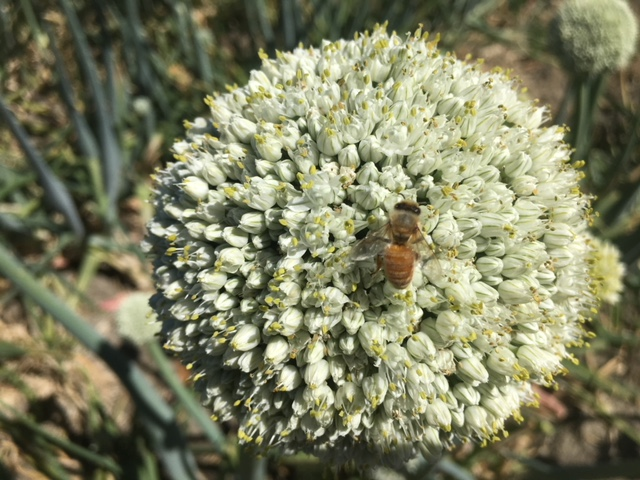 Bee Pollination Of Onion Flower By Garlico Marlborough Ltd In Blenheim NZ