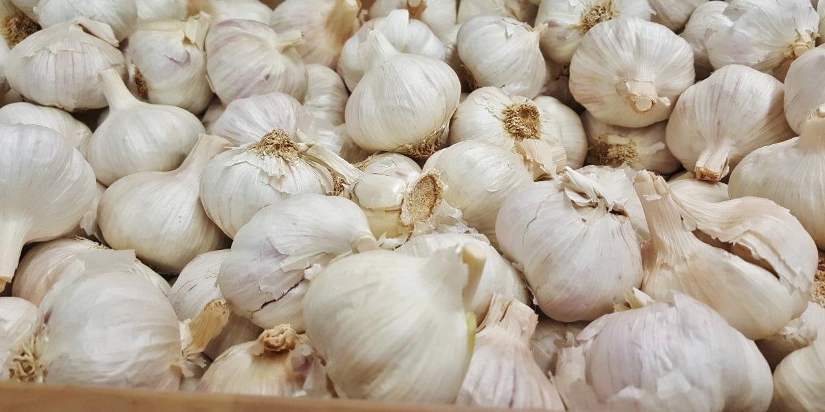Garlic Bulbs Grown By Garlico Marlborough Ltd In Blenheim NZ